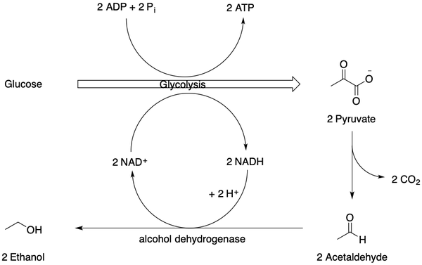 Alcohol and ethanol fermentation.