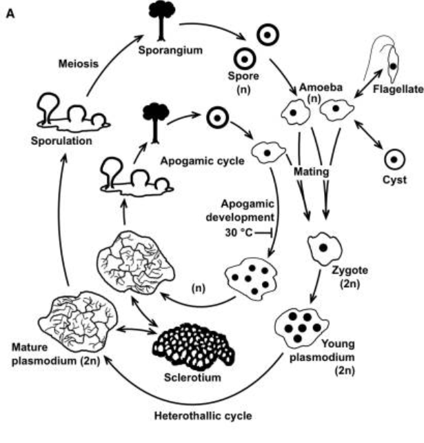 Figure from Schaap P. et al. (2016) Genome Biol. Evol. 8(1):109-125