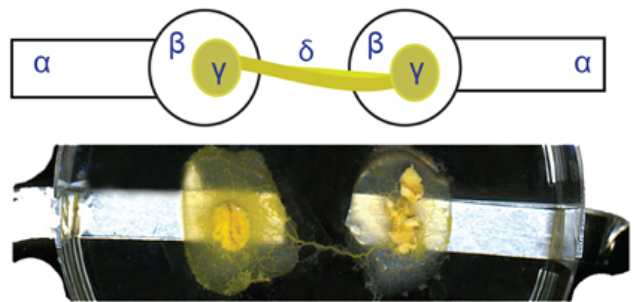 From Riciglioano V. (2015) A circuit with plasmonium inoculated agar blobs on aluminum electrodes with a protoplasmic tube connecting them.